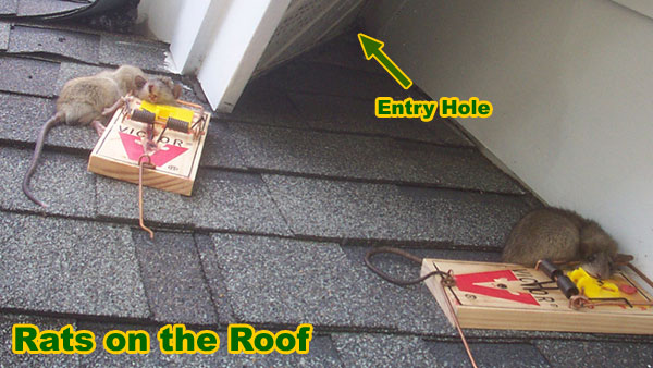 Rodents and Your Roof